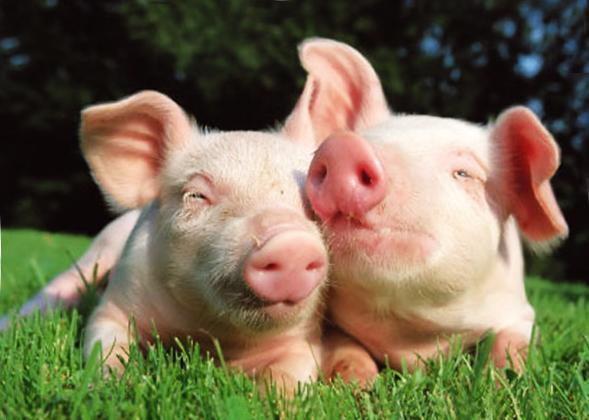 Подробная информация по эффективному откорму и содержанию свиней